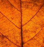 Trocknen Sie Blattaderbeschaffenheit Schließen Sie oben auf Blattbeschaffenheit Blatt adert m Stockbild