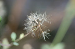 Trocknen Sie Blume 2 Lizenzfreie Stockfotografie