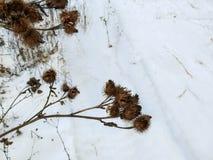 Trocknen Sie braunen Klettengrat auf einem weißen Hintergrund der Schneenahaufnahme im Winter Lizenzfreie Stockbilder