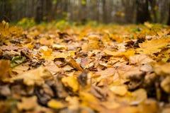 Trocknen Sie den gefallenen herbstlichen Hintergrund des gelben Brauns der Blätter Ahorn Lizenzfreie Stockbilder