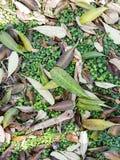 Trocknen Sie die Blätter, die auf grünen Boden fallen Stockfotos