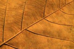 Trocknen Sie die gemaserten Blätter Lizenzfreies Stockbild