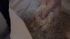 Trocknen Sie die Malzbohnen, die bereit sind verwendet zu werden, um das Bier oder den reinen Licht- oder Dunklenmalzwhisky zu br stock video footage
