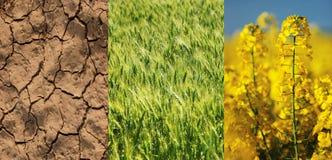Trocknen Sie Feld, grünen Weizen und gelbe Vergewaltigungsblume Stockfotos