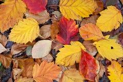 Trocknen Sie gefallene Blätter Stockbild