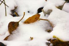 Trocknen Sie gefallene Blätter unter Schnee Stockfotografie