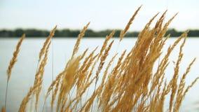 Trocknen Sie goldenes Gras im Hintergrund von einem Teich bei Sonnenuntergang stock footage