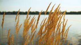Trocknen Sie goldenes Gras im Hintergrund von einem Teich bei Sonnenuntergang stock video
