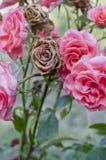 Trocknen Sie rosafarbenen Knopf Lizenzfreies Stockfoto