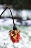 Trocknen Sie Rosafarbenes Lizenzfreies Stockfoto