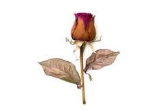 Trocknen Sie Rosafarbenes lokalisiert über weißem Hintergrund Lizenzfreies Stockbild
