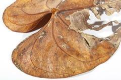 Trocknen Sie und verfallendes Anthirium-Blatt in Autumn Colors Lizenzfreie Stockbilder