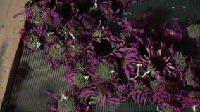 Trocknen von Blumen stock footage