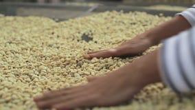 Trocknen von Kaffeebohnen stock video