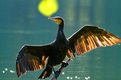 Trocknende Flügel des Kormorans, Hintergrundbeleuchtung Stockfotos