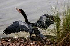Trocknende Flügel des Vogels lizenzfreie stockbilder