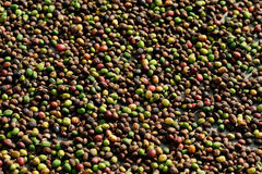 Trocknende Kaffee cheries in der Sonne Stockfotografie