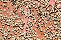 Trocknende Kaffeebohnen Stockbild