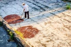 Trocknende Kakaobohnen des Mannes in Guatemala