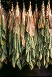 Trocknende Tabak-Blätter Stockbild