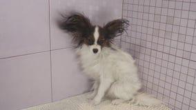 Trocknender Hund nach dem Baden des kontinentalen Toy Spaniel Papillon-Vorratgesamtlängenvideos stock video