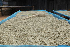 Trocknender Kaffee. stockfotografie