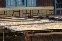 Trocknender Kaffee in Vietnam Lizenzfreie Stockfotos