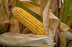 Trocknender Mais Stockfoto