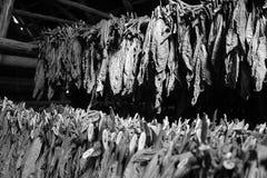 Trocknender Tabak Stockbild