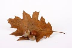 Trocknendes Eichenblatt und -eicheln Stockbilder