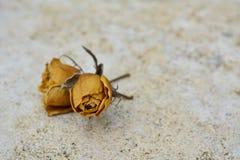 2 trockneten gelbe Rosen auf weißem Steinhintergrund Stockbilder