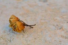 2 trockneten gelbe Rosen auf weißem Steinhintergrund Stockfoto