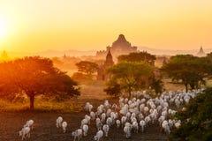 Troep die van vee zich onder pagoden in Bagan, Myanmar bewegen royalty-vrije stock afbeeldingen