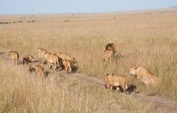 Troep leeuwen Stock Foto