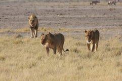 Troep leeuwen Royalty-vrije Stock Afbeelding