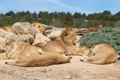 Troep leeuwen stock afbeeldingen