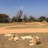 Troep leeuwen Stock Afbeelding