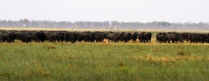 Troep leeuwen de jachtbuffels Royalty-vrije Stock Foto's