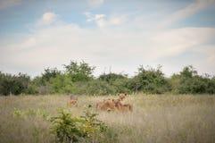 Troep leeuwen in de savanne Royalty-vrije Stock Fotografie