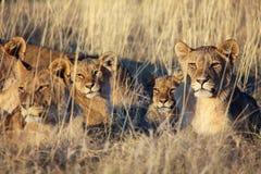 Troep leeuwen die bij etosha nationaal park rusten stock afbeeldingen