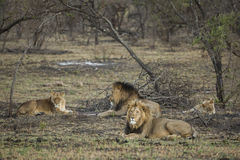 Troep leeuwen Zuid-Afrika Stock Afbeelding