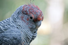 Troep-troep papegaai Stock Afbeelding