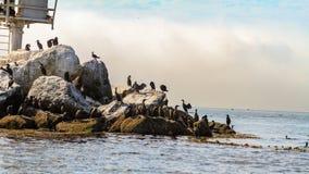 Troep van aalscholvers op rotsen worden neergestreken die royalty-vrije stock foto's