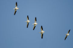 Troep van Amerikaanse Witte Pelikanen die in een Blauwe Hemel vliegen Royalty-vrije Stock Foto