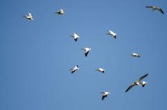 Troep van Amerikaanse Witte Pelikanen die in een Blauwe Hemel vliegen Royalty-vrije Stock Afbeelding