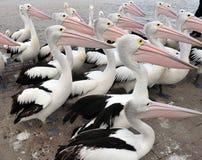 Troep van Australische pelikaan, witte vogel, Australië Stock Foto