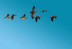 Troep van Canadese Ganzen tijdens de vlucht Stock Afbeelding