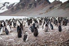 Troep van chinstrap die op de kust dichtbij oceaan lopen Royalty-vrije Stock Fotografie