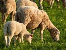 Troep van de schapen met jonge lammeren Royalty-vrije Stock Foto's