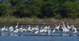 Troep van de Vogels van het Moerasland bij de Vijver Royalty-vrije Stock Fotografie